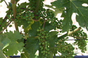 Viura…A Grape You May Not Know