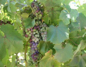 Torrontes Wines