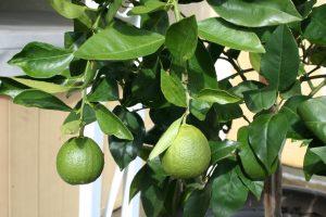 Lemons into Limoncello